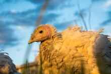 A Young Turkey Walks Across The Grass.