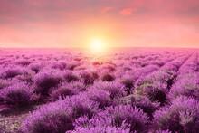 Beautiful Blooming Lavender In...