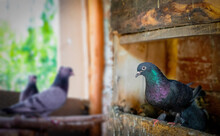 Different Types Pigeons In Coop In Turkey