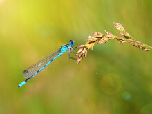 Azure Damselfly On A Ear Of Gr...