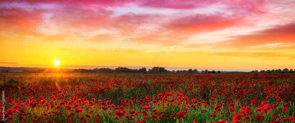 Fototapeta Beautiful poppy field during sunrise