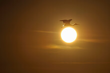 夕日とコサギ(鹿児島...