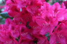 Flower Bushes Of Pink Rhododen...