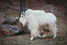 Wild Goat By Rocks