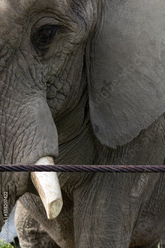Fotomural Big elephant in captivity