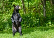 Black Bear Standingon Hind Leg...