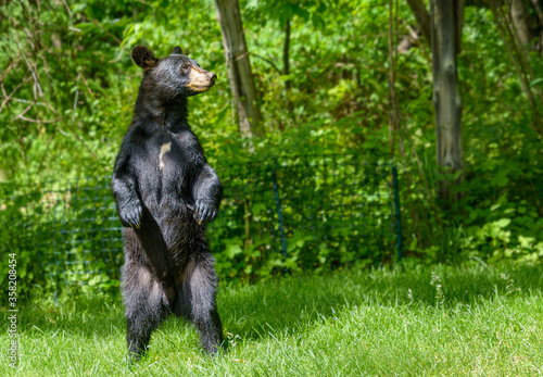 Black bear standingon hind legs to get a better look Canvas Print