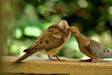 A Pair Of Mourning Doves Indulged In  Romance