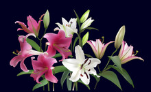 Group Of Light And Dark Pink Lily Flowes On Black