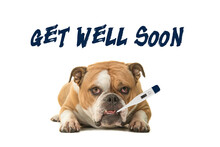English Bulldog Looking At The Camera With A Thermometer In Its Mouth With Text Get Well Soon On A White Background