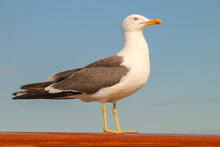 A Seagull Is Standing On The Ship'd Rail
