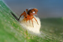 A Small Red Forest Spider Is B...