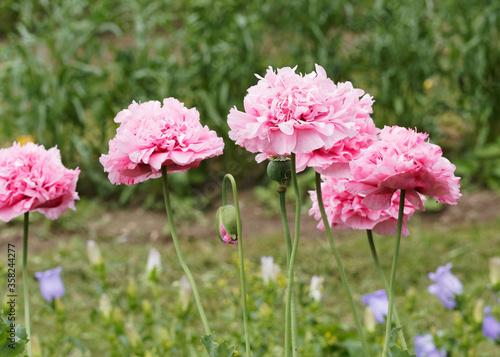 Photo (Papaver somniferum) Allée fleurie de fleurs de pavots des jardins ou pavot somn