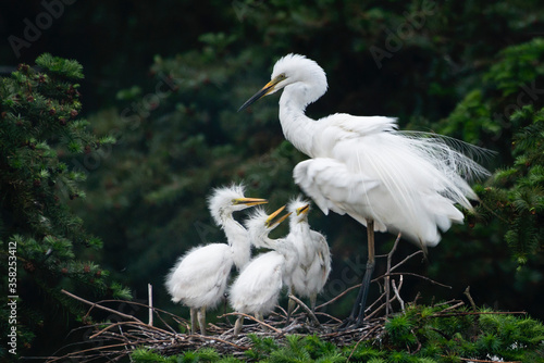 Great Egret, Common Egret, Large Egret, baby Egret,Great White Heron - Ardea alb Canvas Print