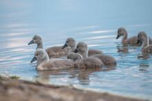 Little Swans Swim In The Lake