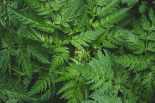 The Texture Or The Fern In The...