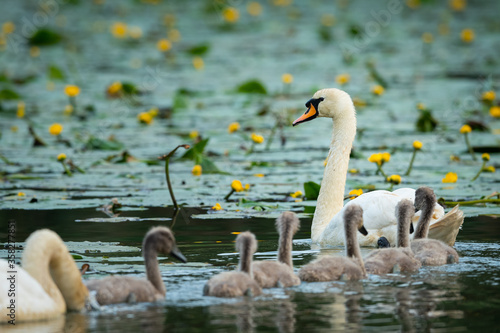 Photo Mute swan cygnets swimming on a sunny day in spring