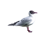 Black-headed Gull Isolated On White Background