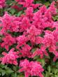 Leinwanddruck Bild - Astilbe Japonica 'Bremen' ou astilbe du Japon aux courtes tiges florales et décoratives de panachées de minuscules fleurs d'aspect plumeux rose