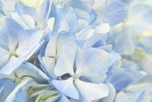 Closeup Of Blue Hydrangea Flow...