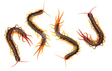 Centipede Is A Poisonous Anima...