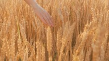 A Woman Farmer Runs Her Hand O...