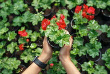 Hands Of African American Girl With Smart Watch Holding Red Flower In Pot For Growing In Garden