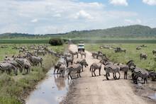 Zebras Crossing Road In Sereng...