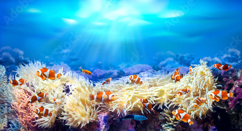 Clownfish swimming among sea anemones. Animals of the underwater sea world. Life in a coral reef. Amphiprion percula. Ecosystem.