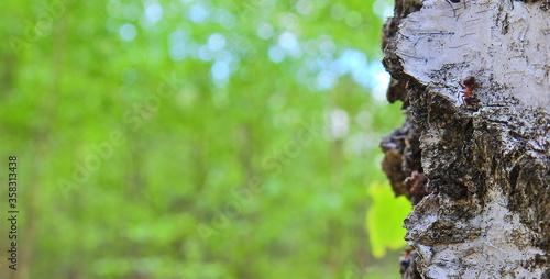 Mrówka na korze brzozy - 358313438