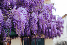 Flowering Purple Violet Wisteria Tree Background, Floral Wallpaper.Blooming Violet Wisteria Sinensis. Beautiful Prolific Tree With Scented, Classic Purple Flowers In Hanging Racemes.