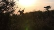 A male Kudu at sunset portrayed during a safari in the Hluhluwe - Imfolozi National Park, South africa