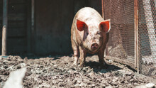 Portrait Of Messy Pig On The F...