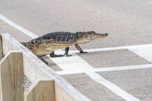A Pair Of Alligators Use The C...
