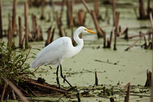 Great Egret Fishing Among The Floating Duckweed And Dead Cattail Stalks Of The Marsh In The Horicon National Wildlife Refuge, Wisconsin, In Mid-August