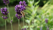 A Honeybee On A Lavender In A ...