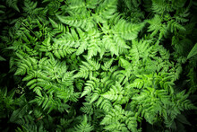 Italy, Close-up Of Green Growi...