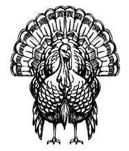 Turkey Animal Bird Sketch, Front View Illustration