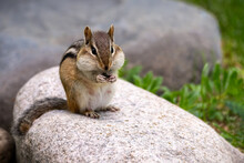 Small Chipmunk Eating On A Rock