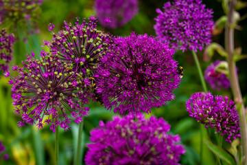 Panel Szklany Podświetlane Ogrody Purple Aliums