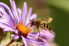 American Hover Fly On Purple Aster On Early Wisconsin September Morning Within Pike Lake Unit, Kettle Moraine State Forest, Hartford, Wisconsin