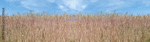 Obraz na plátně Panorama von Dinkel Getreideähren am Rand eines Feldes vor blau-weißem Himmel