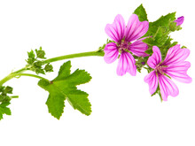 Common Mallow Plant With Pink ...