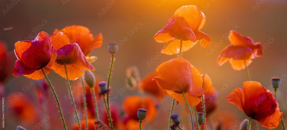 Fototapeta Poppy meadow in the light of the setting sun