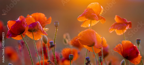 Poppy meadow in the light of the setting sun