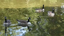 Four Canada Geese Swimming In The Lake Of Bois De Boulogne In Paris