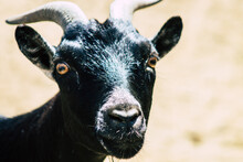 View Of Domestic Goat, A Subsp...