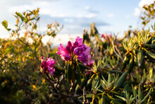 Rhododendrons Blooming At Roan...
