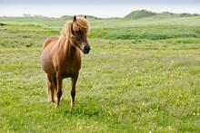 Icelandic Horse In Field, Icel...