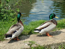 A Pair Of Mallard Ducks On Riverbank
